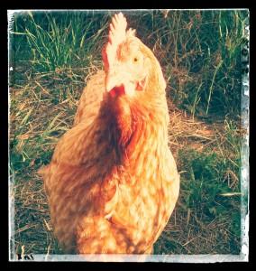 chicken anna