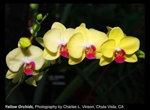 Vinson,-Charles-L._Yellow-Orchids_Chula-Vista,-CA.