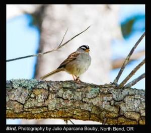 Bouby,-Julio-Aparcana_Bird_North-Bend,-OR.